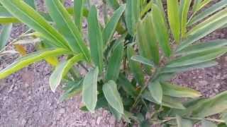 Kulanjan Malayvacha Greater Galangal Alpinia galanga Pennel
