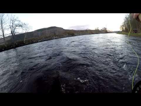 Playing Scottish springer...