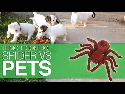 Cats and Dogs VS Robot Spider