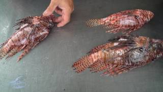 Hit by a... lion fish