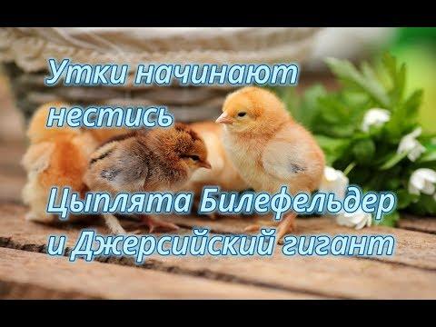 Утки начали нести яйца. Цыплята Билефельдер и Джерсийский гигант.