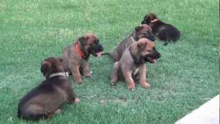 Belgian Malinois Puppies For Sale Expected December 2013