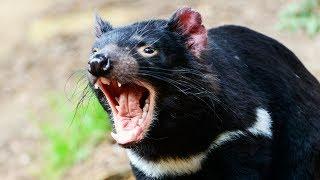 Le diable de Tasmanie fait peur - ZAPPING SAUVAGE
