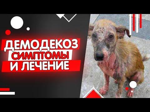 Как выглядит демодекоз у собак, признаки и симптомы демодекоза