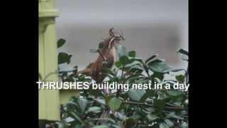 Wrens Building Nests
