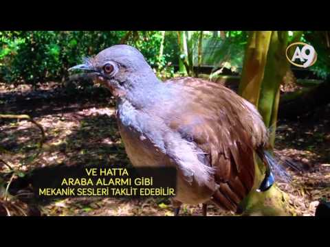 Araba alarmını taklit eden Alaycı Kuş