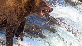 Brooks Falls Bears Catching Salmon In Midair Up Close In Slow-Motion 2019