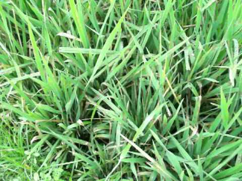 Video penyakit Blast daun ,hawar , sundup pada tanaman padi
