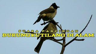 Gambar cover Suara Kicauan Burung Kutilang Di Alam (Sooty-Headed Bulbul)