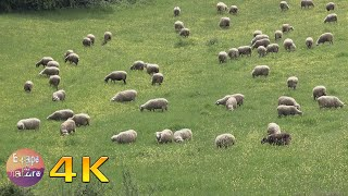 Sheep grazing in a field - Bleating sheep, sound of bells, birds singing # 4K video.