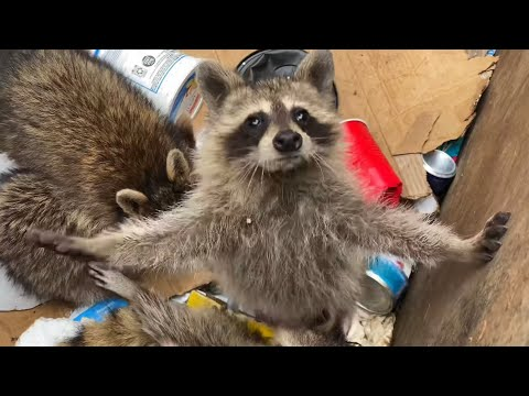 Family of Raccoons Rescued From a Dumpster
