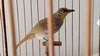 Burung Merbah Lekir Si Pengicau Bersuara Pedas