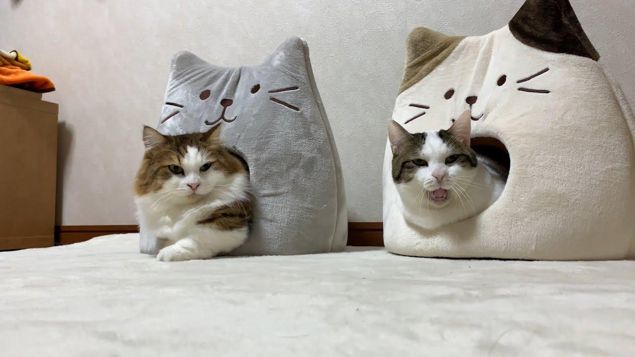 ギュウギュウ詰めになる猫