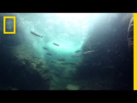Remove the Dams to Save the Salmon? | Short Film Showcase thumbnail