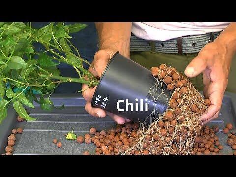 Faszination Pflanzenwelt coole Experimente mit Erfolg begleiten die Chili nach 2 Monaten