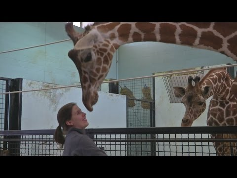 Local experts talk giraffe mating, birth, and conservation