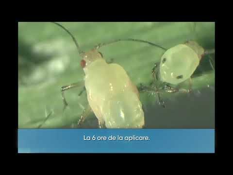 Condyloma acuminatum amboss