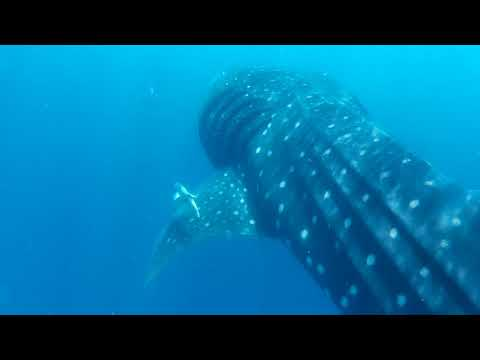 Meeting Whale Sharks – June 2018 – Holbox – Mexico
