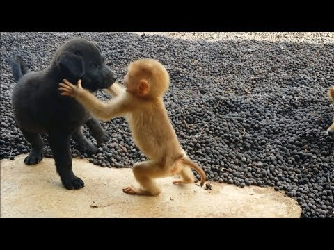 Download Cute Baby Monkey Relax And Play Happily With 2 Puppies HD Mp4 3GP Video and MP3