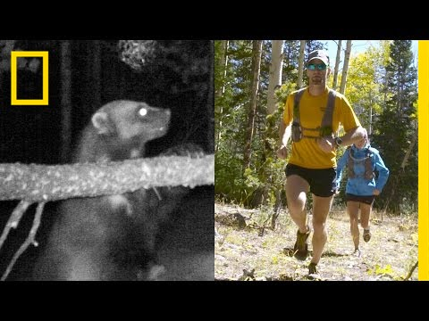 Chasing Wolverines With Help From Ultra-Runners | National Geographic thumbnail