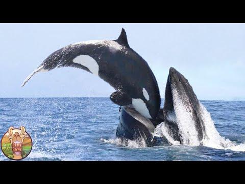 Même Les Baleines Ont Peur De Cet Animal Fou !