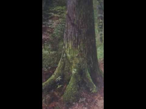 Thumbnail of Martin Taylor - Back up in the woods among the evergreens