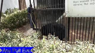 ANGRY BEAR tries to break the pipe what happens next will blow your mind