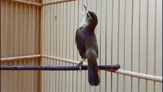 Burung Kerak Basi Master Ngamuk Suara Kasar