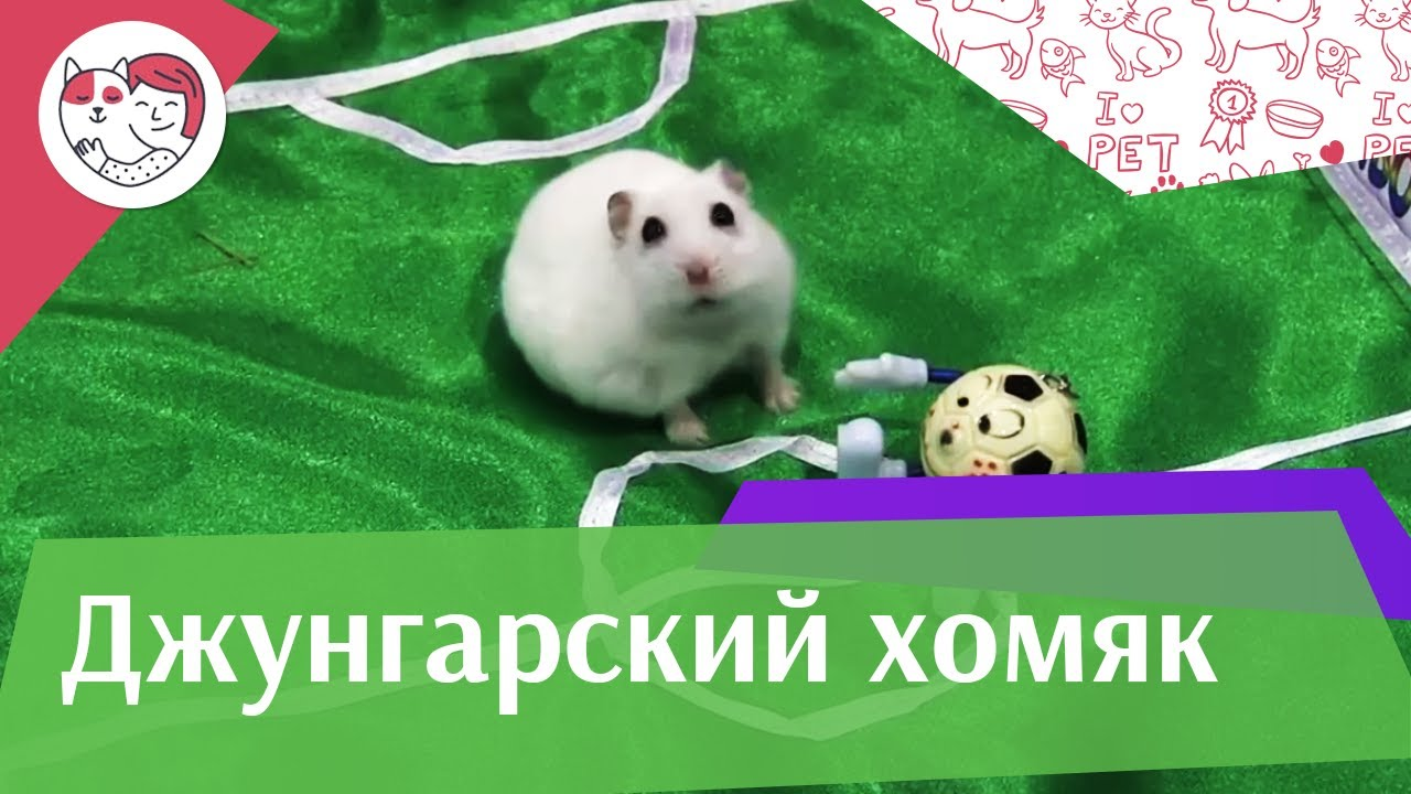 Джунгарский хомяк Размножение на ilikepet