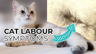 TOP 10 SIGNS YOUR CAT IS IN LABOR (including pre-labor symptoms) + Sneak Peak of Nala's Kittens
