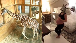 'Giraffe Mom' Reacts to April Baby News: 'The Race Is On Again!'