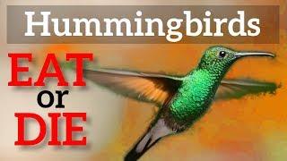 Hummingbirds Must Eat or Die