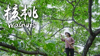 Video : China : Walnuts 核桃 - harvesting and preparing