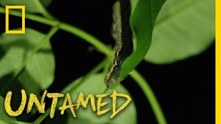 The Caterpillar That Looks Like a Snake | Untamed