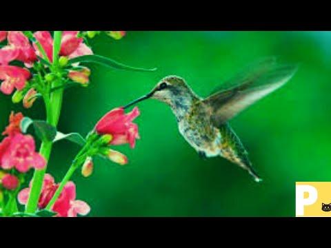 Beija flor#beijaflorcantando#canto#cantodospssaros#cantodasaves#Xu0y#Hummingbird#hummingbirdsinging