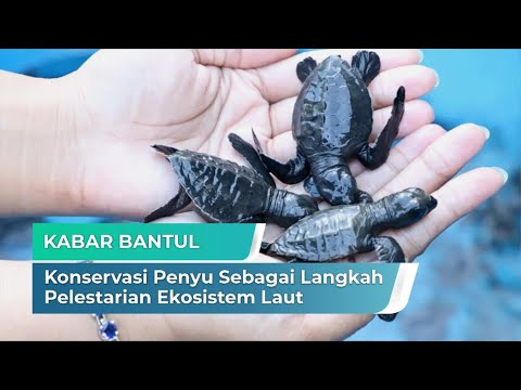 Konservasi Penyu Sebagai Langkah Pelestarian Ekosistem Laut | Kabar Bantul
