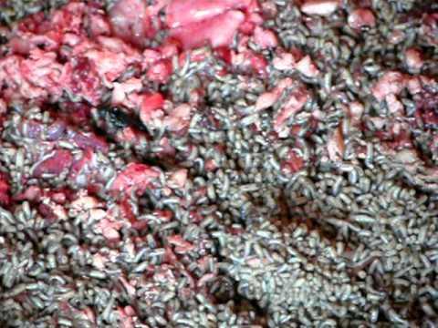 A laposférgek paraziták vagy sem