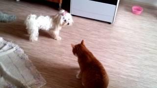 Мальтезе - Нам не страшен Рыжий кот!!!