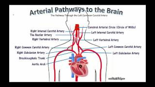 TUTORIAL ON ARTERIAL PATHWAYS OF OXYGENATED BLOOD FROM THE HEART TRAVELING TO THE BRAIN