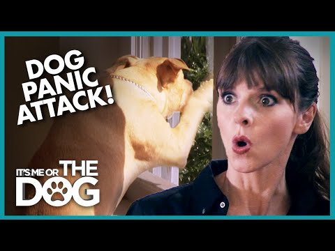 Dog's Panic Attacks are Destroying Home | It's Me or The Dog