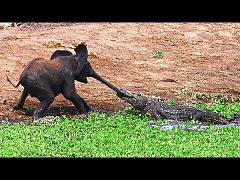 As Maiores Lutas e Batalhas Entre Animais Selvagens | Leão, Elefante, Anaconda, Crocodilo