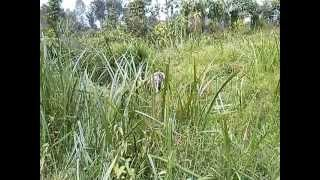 preview picture of video 'Kijuguta lady tying a sheaf of papyrys sedge and lifting it up'
