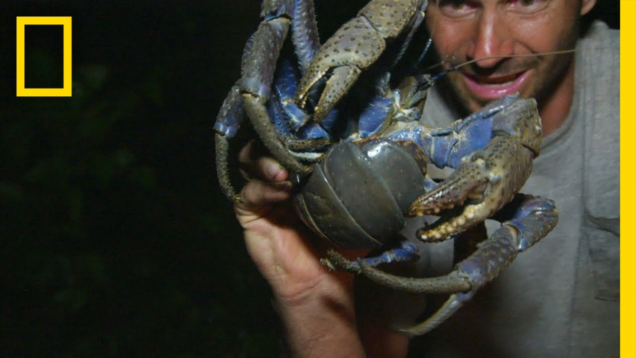 Luring in the Coconut Crab   Primal Survivor thumbnail