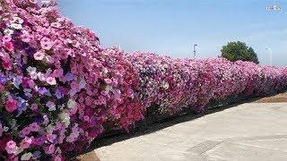 Climbing Flower For Fences | Beautiful House | Beautiful Garden