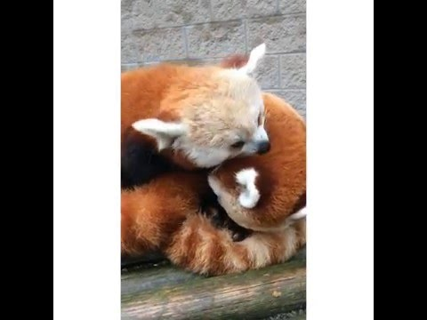 Overwhelming Red Panda Cuteness