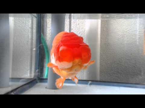 高級ランチュウ~Queen Of Goldfish!?!~ペットストアラッキーワン