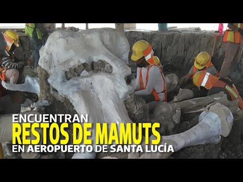 Se Encuentran Más De 60 Fósiles De Mamuts Encontrados En México