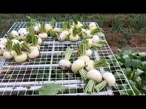 蕪(カブ)の育て方 間引き収穫