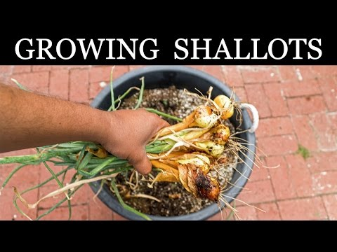 , title : 'How To Grow Shallots - Growing Shallots In Containers - A Complete Guide