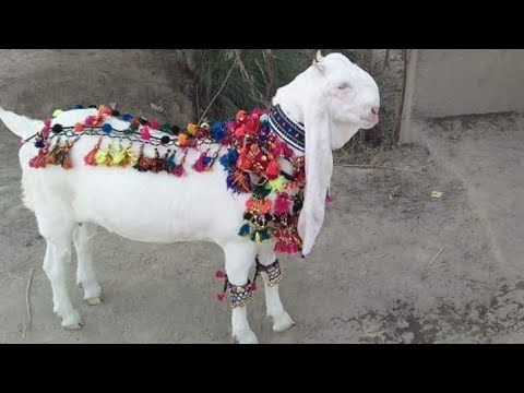 LOW PRICE BAKRA BAKRA MANDI PAKISTAN IN BAKRA FOR SALE بکرا